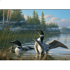 Common Loons -