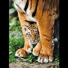 Bengal Tiger Cub - Rectangle Box -