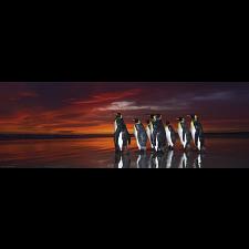 AVH Panorama: King Penguins -