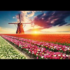 Tulips Landscape -