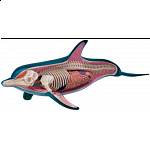 4D Vision - Dolphin Anatomy Model