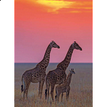 Masai Giraffes at sunset