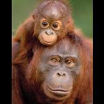 Mini Puzzle - Orangutan & Baby
