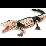 4D Vision - Crocodile Anatomy Model