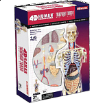 4D Human Anatomy - Transparent Torso