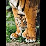 Bengal Tiger Cub - Rectangle Box