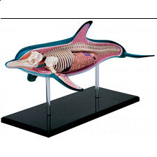 4D Vision - Dolphin Anatomy Model - Games & Toys