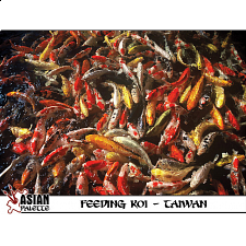 Feeding Koi in Taiwan - 500-999 Pieces