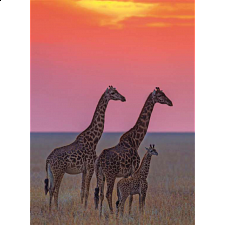 Masai Giraffes at sunset - 500-999 Pieces