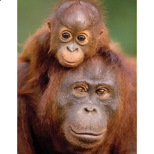 Mini Puzzle - Orangutan & Baby - 1-100 Pieces