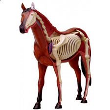 4D Vision - Horse Anatomy Model - 3D Anatomic Puzzles