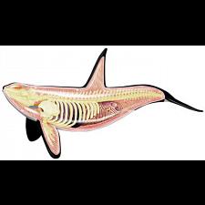 4D Vision - Orca Anatomy Model -