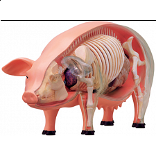 4D Vision - Pig Anatomy Model - 3D Anatomic Puzzles