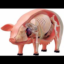 Pig Anatomy Model