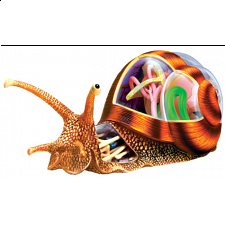 4D Vision - Snail Anatomy Model