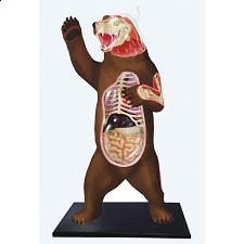 4D Vision - Brown Bear Anatomy Model - Games & Toys