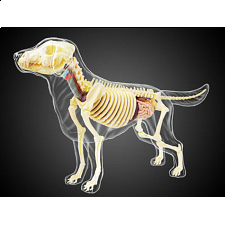 4D Vision - Dog - Full Skeleton Model - 3D Anatomic Puzzles