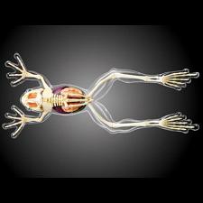 4D Vision - Frog - Full Skeleton Model -