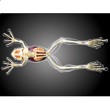 4D Vision - Frog - Full Skeleton Model -