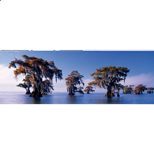 Panorama: Bald Cypresses - Panoramics