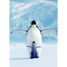 Penguin & Chick - Search Results