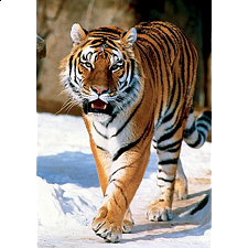 The Siberian Tiger - Search Results