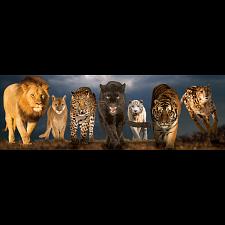 Big Cats: Panoramic Puzzle -