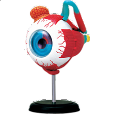4D Human Anatomy - Eyeball - New Items