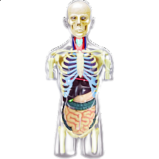4D Human Anatomy - Transparent Torso -