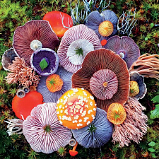 Mushrooms: Agaric - Search Results