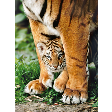 Bengal Tiger Cub - Search Results