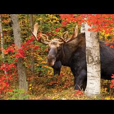 Autumn King - Jigsaws