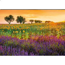 Field of Sunflowers and Lavender -
