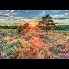 Heather At Sunset -