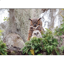 Great Horned Owl - Search Results