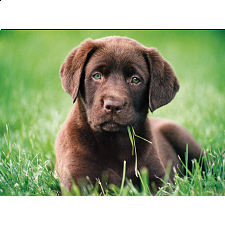 Chocolate Puppy -