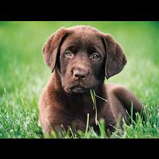 Chocolate Puppy - New Items