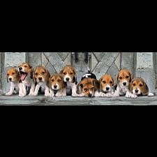 Panorama: Beagle Puppies -