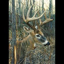 White-Tailed Deer -