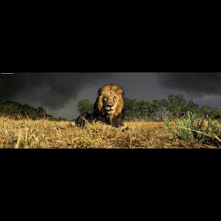 AVH Panorama: Lion