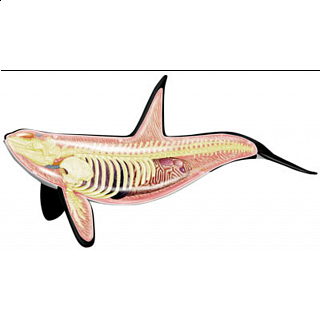 4D Vision - Orca Anatomy Model