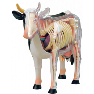 4D Vision - Cow Anatomy Model