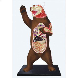 4D Vision - Brown Bear Anatomy Model