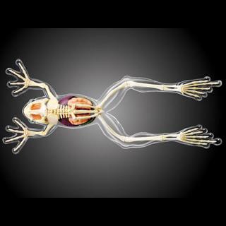 4D Vision - Frog - Full Skeleton Model