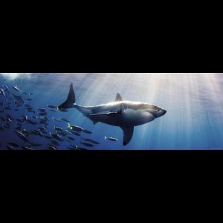 Panorama: White Shark