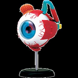 4D Human Anatomy - Eyeball