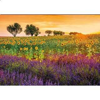 Field of Sunflowers and Lavender