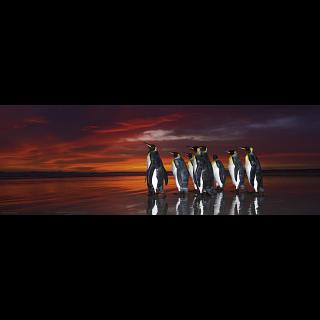 AVH Panorama: King Penguins