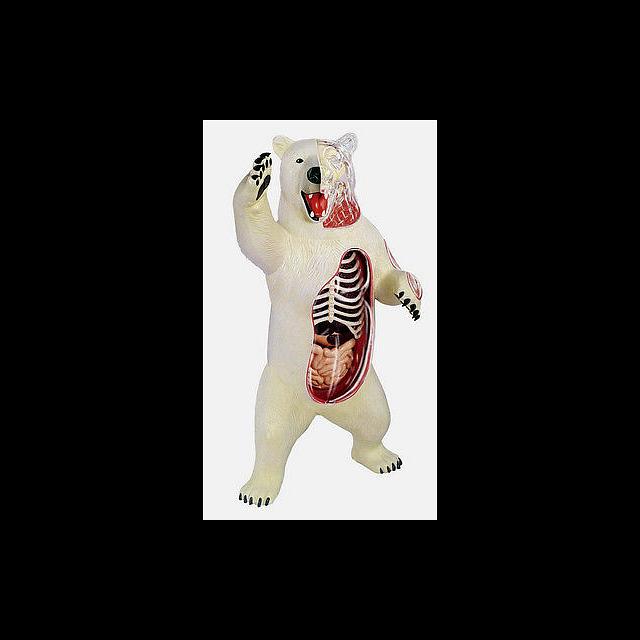 4D Vision - Polar Bear Anatomy Model | Puzzle Boxes | Puzzle Master Inc