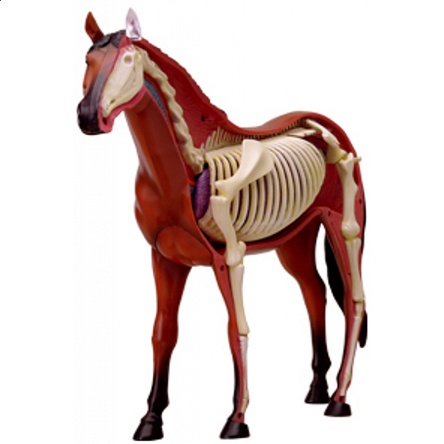 4D Vision - Horse Anatomy Model | Games & Toys | Puzzle Master Inc